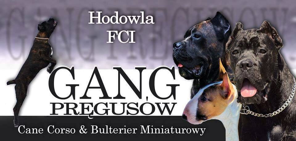 Gang Pręgusów / Brindled Gang/ Cane Corso Kennel